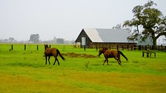 2016-12-20_08-25-09 (ioner209) Tags: couldy weather horses horse barn country gallop galloping
