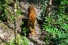 Vinpearl Safari (ola_alexeeva) Tags: phuquoc phu quoc vietnam nature viet animals фукуок safari вьетнам tiger тигр сафари котик cat