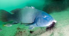 Bluey Grabs a Snack (Corey Hamilton) Tags: bareisland morayeel scubadiving underwater