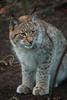 Eurasian lynx (Nina Leitgeb) Tags: luchs lynx eurasian