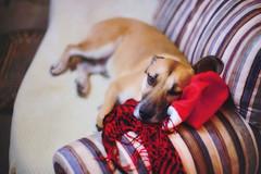 It was an exhausting year... (petrapetruta) Tags: dog resting eye santa cozy cute