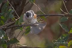 Tufted Titmouse (Stephen J Pollard (Loud Music Lover of Nature)) Tags: carbonerocopetón tuftedtitmouse bird ave baeolophusbicolor nature naturaleza fauna wildlife