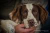 """Rodney"" - Springer Spaniel (Digidiverdave) Tags: davidhenshaw nikon5300 shire shropshire springerspaniel animal canine dog gundog henshawphotographycom pet workingdog"