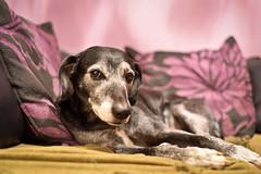 Lazy bones. *Explore* (Dogloverlou) Tags: tyler sofa lazy lounging home colourful nikon 2017