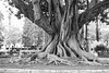 Film: Tree (rafa.esteve) Tags: film blackandwhite blackwhite kodaktmax400 400tmx