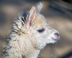 Cute young fluffy alpaca (Tambako the Jaguar) Tags: alpaca llama camelid portrait face profile young cute adorable fluffy beige white zürich zoo switzerland nikon d5