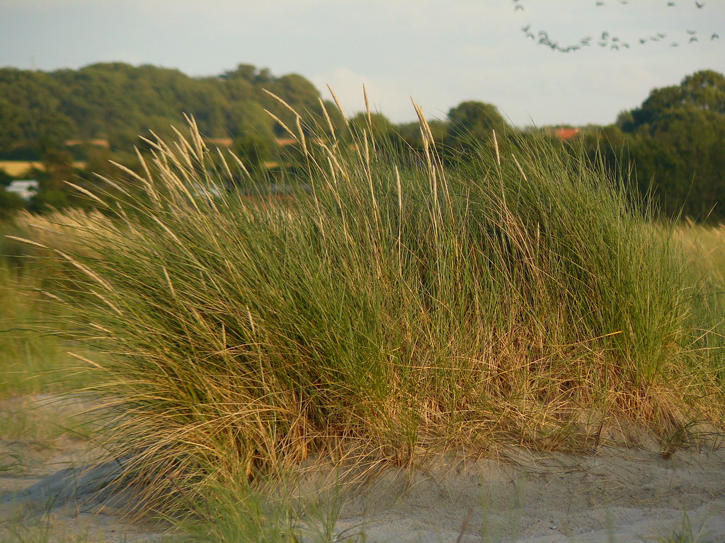 Ammophilla arenaria- Strandhafer3
