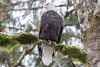 Bald Eagle (Olga Varennikava) Tags: bird eagle baldeagle wildlife nature forest winter