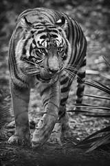 DSC_0260-Edit (craigchaddock) Tags: majel pantheratigrissumatrae sandiegozoosafaripark sandiegosafaripark sumatrantiger iso6400 6400