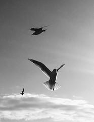 in volo (Francoise photographer) Tags: salerno lungomare gabbiani bianco e nero black white chiaroscuro italia italy volare tramonto light luce