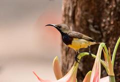 IMG_4886   Olive-backed Sunbird_male (ashahmtl) Tags: olivebackedsunbird bird sunbird male nectariniajugularis kohphrathong natureresort phangngaprovince thailand