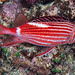 Crown Squirrelfish with night colors - Sargocentron diadema