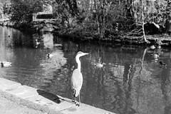 L1000926 (suey_11) Tags: leica birds 50mm canals monochrom summilux leedsliverpoolcanal