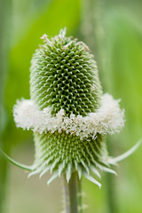 white belt (Sicong (OFF for a while)) Tags: white green nature sony jardindesplantes dipsacus a6000 sal135f18za sonnart18135 laea2 cardrefoulon