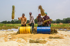 Harvesting Paddy (sayem.ahmed49) Tags: season village harvest farmer bangladesh