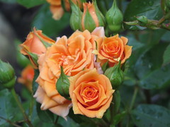 00716202 Rose (golli43) Tags: sunset sun streets rain juni sunrise mond heaven himmel wolken neighbours sonne katzen nachbarn homesweethome regen spaziergnge streetlive segelflieger