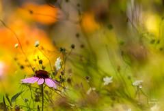 Ode to a Flower (Boreal Bird) Tags: summer music flower garden coneflower maryamerman