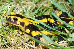 Salamandra salamandra 20150613 b , NGIDn178785072 (naturgucker.de) Tags: johannisberg salamandrasalamandra naturguckerde carnolaber ngidn178785072