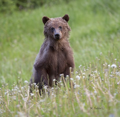 6K1A5291 (Mike Taddeo) Tags: bear flowers summer mountain mike grass june canon outdoors photography cub photo highway photos weekend wildlife ab pica alberta grizzly sow griz