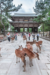 Todaiji and deers (EdYang0323) Tags: trip animal japan canon buildings temple shrine tokina nara todaiji    1116 70d t116