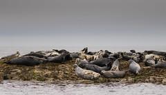 Seals (andrewswinbank) Tags: ocean uk sea nature water animal animals rock mammal island grey coast rocks wildlife seal seals british mammals farne farneislands britishwildlife naturephotography