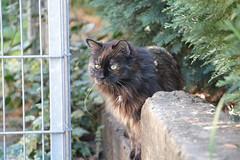 """I'm watching you!"" (Vasquezz) Tags: cat katze siberian siberiancat sibirische  zarah forestcat waldkatze sibirisch sibirischekatze"