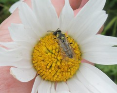 Sawfly - Explored (Cefn Ila) Tags: flower insect sawfly gwt symphyta pentwynfarm