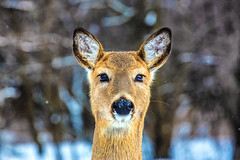 Fluffy (Redux) (uncouth13) Tags: snow cute nature animal bokeh wildlife doe deer aww serene