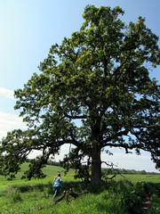 that tree (quirkyjazz) Tags: oaktree lonetree oldoak thattree plattevillewisconsin