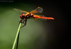 Crocothemis erythraea (Marckciidae) Tags: insectos macro animal insect dragonfly biology arthropoda biodiversity odonata libellulidae insecta anisoptera