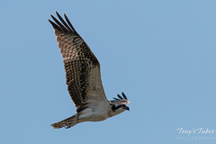Osprey flyby while looking for a meal