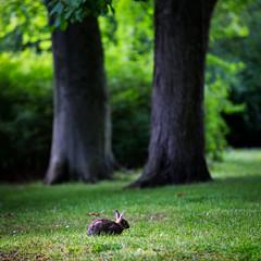Malmö, June 20, 2015 (Ulf Bodin) Tags: park summer rabbit se skåne sweden outdoor sverige malmö scania slottsparken skånelän canoneos5dmarkiii canonef70200mmf28lisiiusm