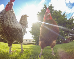 Thug Life (Geraint Rowland Photography) Tags: uk pets cute chickens animals scotland gangsters farm chick thugs roosters farmanimals thuglife farmlife crovie downonthefarm gopro angrychickens hero4 goprohero4 countrywidegreattour cgt2015 geraintrowlandgoprophotography goproscotland goprouk