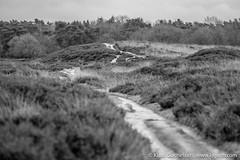 DSCF0196 (Klaas / KJGuch.com) Tags: drenthe netherlands nature natuur decemberwalks walkingindecember naturereserve naturereservation heath blackwhite fujifilm fujifilmxpro2 xpro2 wandeling wandelen hiking outandabout trees