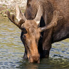 IMG_8244 Bull Moose (cmsheehyjr) Tags: cmsheehy colemansheehy nature wildlife moose grandtetonnationalpark grosventreriver wyoming antelopeflats jacksonhole bullmoose