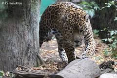 IMG_7741 (pinkystar_84) Tags: natura roar jaguar giaguaro animals animali mammals caccaitore predatore mammifero maculato felini manto pelliccia canon 700d colors colori