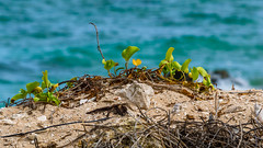Beach Blur (Laith Stevens Photography) Tags: beach blurred green weeds leaves plant sand sea ocean twiggs shells olympus omd em1 50200mmf28swd olympusinspired tropical pacific islands nauru