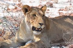 Lioness watches on. (pstone646) Tags: nature lioness animal wildlife closeup africa namibia mammal fauna bigcat bigfive feline ngc nikon