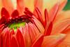 Waking Up (Joe_R) Tags: dahlia flower macro 6d canon