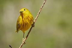 Yellow Warbler1 (ronmcmanus1) Tags: antigua bird nature outdoors wildlife jollyharbour stmarysparish antiguabarbuda