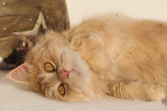 Am I cute or what ? (FocusPocus Photography) Tags: linus katze kater cat chat gato tier animal haustier pet