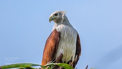Brahmini Kite (l3v1k) Tags: ifttt 500px bird green animal blue raptor sky eagle profile prey accipitridae haliastur indus brahminy kite redbacked seaeagle nikon d5500