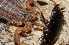 FETISH FOR FEET P1160538 (Steve & Alison1) Tags: orange tan black scorpion lychas species buthidae eating feet cockroach blattidae airlie beach rainforest foot fetish
