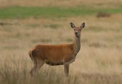Red-Deer-4163 (Kulama) Tags: reddeer deer nature wildlife woods animals bracken fern canon7d sigma150600563c