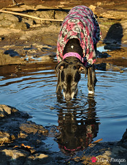 53.52.2016 Looking at 2017 (kmmorgan1977) Tags: kkzsapachevegasrose greatdane oregon milwaukie 2016 dogs winter willametteriver 52wfd16 52wfd