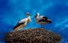Die Würmer werden von den Fröschen gefressen;  die Frösche von den Störchen,  die Störche bringen Kinder,  und die Kinder haben Würmer.  So schließt sich der Kreislauf der Natur (Kurt Tucholsky) (roland_lehnhardt) Tags: canon eos60d sigma120400mm ciconiidae störche ciconiiformes aves vögel birds tetrapoda gnathostomata vertebrata storchennest tierportrait tiere animals tele himmel wolken sky clouds blau blue zoom storch vogelnest stork storks