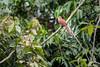 Squirrel Coockoo (jeff_a_goldberg) Tags: piayacayana squirrelcoockoo winter laselvabiologicalstation costarica naturalhabitatadventures laselva cuckoo nathab heredia cr