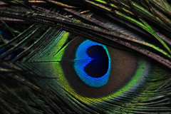 Peacock's Eyes(クジャクの目) (daigo harada(原田 大吾)) Tags: peocock eye wing heart ハート 羽根 目