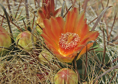 Ferocactus wislizenii, with orange flowers (l.e.violett) Tags: cactus flowers cultivated ferocactus wislizenii arizona pse macro