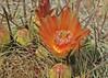 Ferocactus wislizenii, with orange flowers (l.e.violett) Tags: cactus flowers cultivated ferocactus wislizenii arizona pse macro